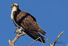 An Osprey taken Apr. 5, 2011 in Grand Junction, CO.