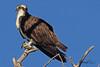 An Osprey taken Apr. 5, 2011 in Grand Junction, CO.
