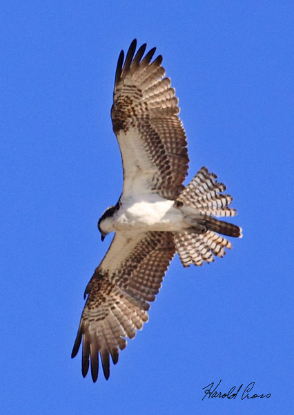 An Osprey taken Feb 8, 2010 in Gilbert, AZ.