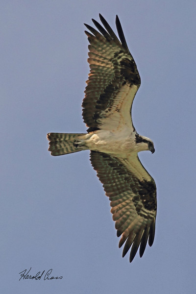 An Osprey taken April 12, 2011 near Fruita, CO.