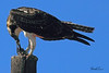 An Osprey taken Nov. 5, 2010 near Fruita, CO.