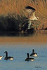 An Osprey with Canada Geese taken Nov. 1, 2010 near Fruita, CO.
