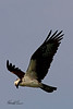 An Osprey taken April 12, 2011 near Fruita, CO.