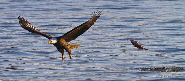 Who's Chasing Who?  As skilled as these eagles are they often miss... more than once we saw fish flung up in the air as the hunter cruised off empty handed. Within seconds another Eagle dove in and claimed the stunned fish.