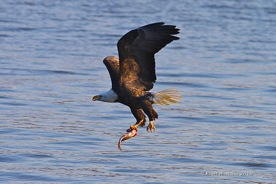 1/31/10 I spent all day Sunday with friends watching these magnificent birds fish along the Mississippi.... Cheers erupted from the crowd of onlookers as this eagle powered up with his prize in tow.  (This particular Photo came from Lock & Dam 14 near Le Claire Iowa.)