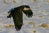 Mississippi River Bald Eagle