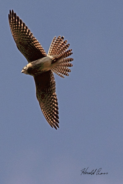 An American Kestral taken Apr. 4, 2011 in Grand Junction, CO.