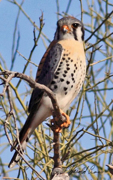 American Kestral taken in Apache Junction, AZ on 12 Feb 2010.