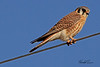 An American Kestral taken Mar. 23, 2011 near Fruita, CO.