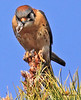 American Kestral taken in Phoenix, AZ on 1 Feb 2010.
