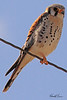 An American Kestral taken Mar 23, 2010 near Fruita, CO.