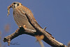 An American Kestral taken Mar. 30, 2011 in Grand Junction, CO.