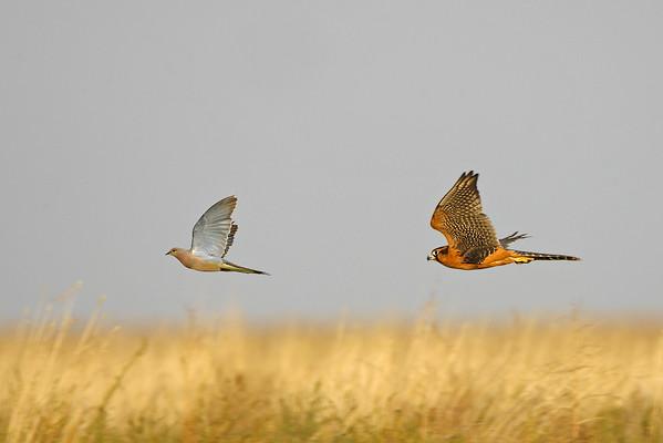 Falconiformes. sub Falconidae - sub fam Falconinae - gênero Falco 490663597_76UnT-M