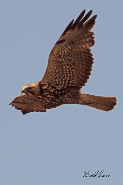 A Merlin taken May 15, 2011 near Portales, NM.