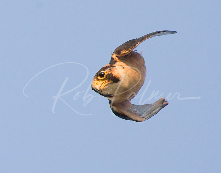 Falconiformes. sub Falconidae - sub fam Falconinae - gênero Falco 490694464_p6xXM-L