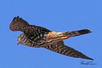 Peregrine falcon taken in Grand Junction, CO on 2 Mar 2010.