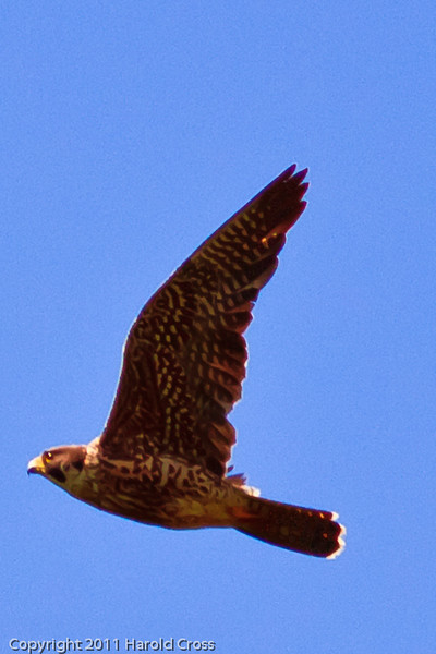 A Peregrine Falcon taken June 17, 2011 near Bridgeville, CA.