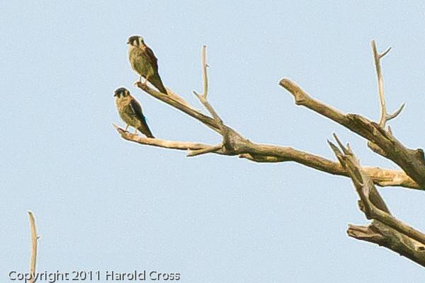 Peregrin Falcons taken July 21, 2011 near Soccorro, NM.