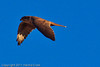 A Prairie Falcon taken Oct. 29, 2011 near Portales, NM.