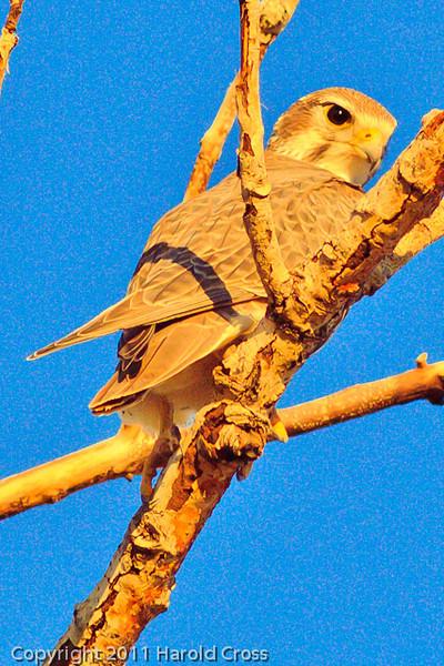 A Prairie Falcon taken Nov. 8, 2011 near Fruita, CO.