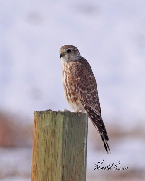 A Prairie Falcon taken in Fruita, CO on 13 Jan 2010.
