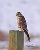 A Prairie Falcon taken in Fruita, CO on 13 Jan 2010.