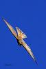 A Prairie Falcon taken Sep 14, 2010 near Fruita, CO.