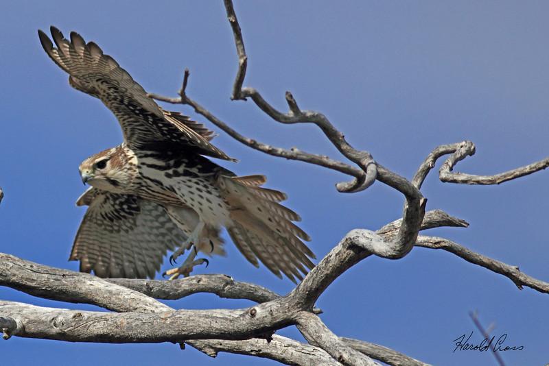 A Prairie Falcon taken Oct 4, 2010 near Melrose, NM.