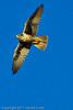 A Prairie Falcon taken Oct. 29, 2011 near Portales, NM.