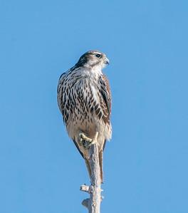 Prairie Falcon on Prey Watch