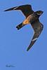 A Common Nighthawk taken Aug 19, 2010 near Fruita, CO.