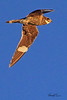 A Common Nighthawk taken Aug 12, 2010 in Fruita, CO.