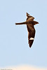 A Common Nighthawk taken July 17, 2011 near Kenna, NM.