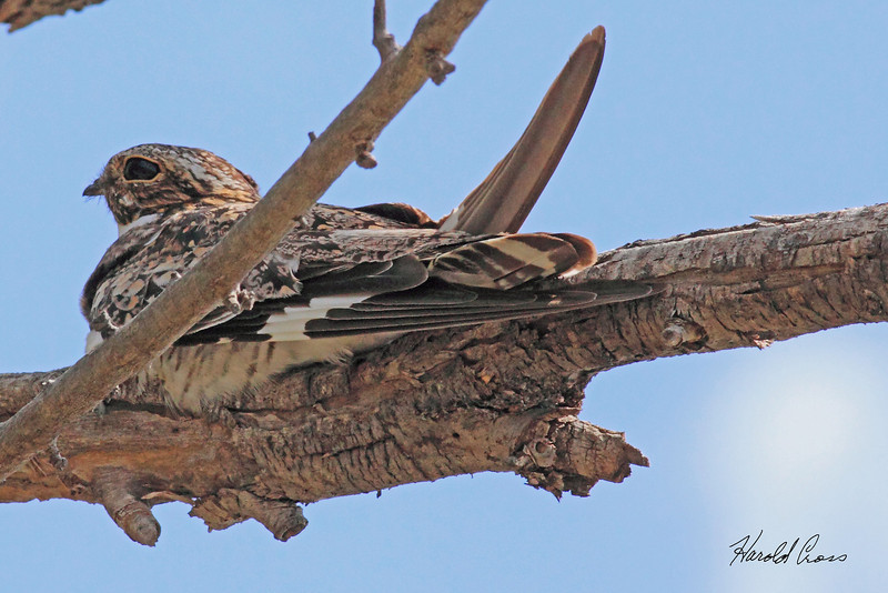 A Common Nighthawk taken July 25, 2010 near Milnesand, NM.