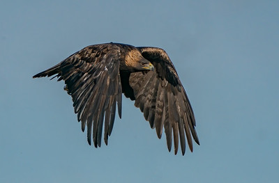 Golden Eagle Wings Down Searches for Prey