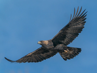 Golden Eagle Soaring on the Breeze