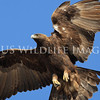 Golden Eagles : Golden Eagles (Aquila chrysaetos)