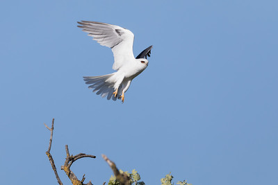 White-tailed kite on guard duty