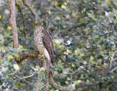 Cooper's Hawk in search of prey