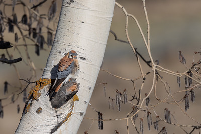 Male American Kestrel Perched On An Aspen Tree