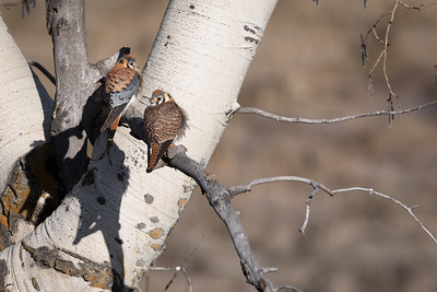 Nesting Pair of American Kestrels Bathed In Morning Light