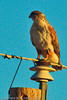 A Ferruginous Hawk taken Nov. 1, 2011 near Elida, NM.