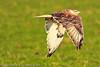 A Ferruginous Hawk taken Oct. 31, 2011 near Muleshoe, TX.