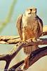 A Ferruginous Hawk taken Feb. 9, 2012 in Tucson, AZ.