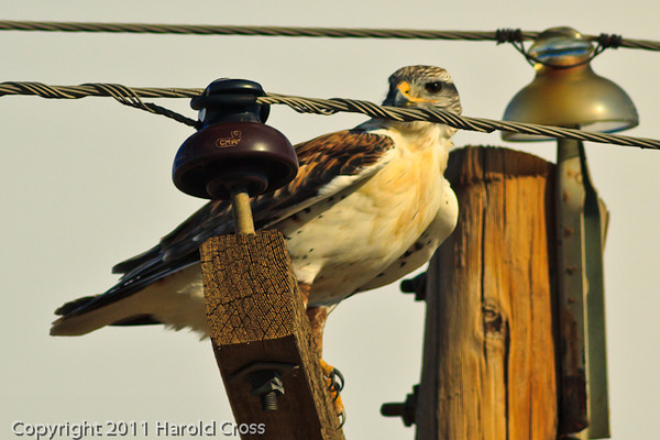 A Ferruginous Hawk taken Oct. 31, 2011 near Muleshoe, TX.