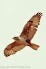 A Ferruginous Hawk taken May 1, 2012 near Tres Piedras, NM.