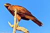 A Harris Hawk taken Feb. 3, 2012 near Tuscon, AZ.