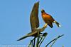 A Harris Hawk taken Feb. 3, 2012 near Tucson, AZ.