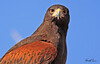 A Harris Hawk taken Feb 7, 2010 in Tuscon, AZ.