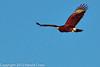 A Harris Hawk taken Feb. 15, 2012 in Tucson, AZ.